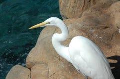 Héron de blanc grand Photo libre de droits