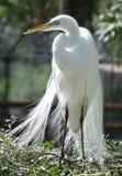 Héron de blanc grand photographie stock libre de droits