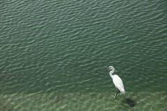 Héron de blanc grand Photo stock