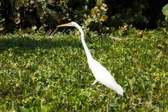 Héron de blanc grand. Plage des Caraïbes. Tayrona Images stock