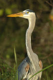 Héron de bleu grand (Ardea Herodias) photographie stock libre de droits
