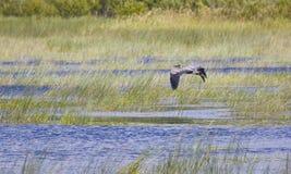 Héron de bleu grand au-dessus de marais Images libres de droits