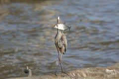 Héron de bleu grand avec un poisson Photographie stock libre de droits