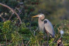 Héron de bleu grand en Floride Photographie stock libre de droits