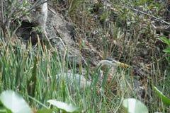 Héron de bleu grand en stationnement national de marais image stock