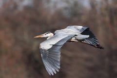 Héron de bleu grand en vol Photographie stock libre de droits
