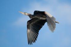 Héron de bleu grand en vol Photo stock