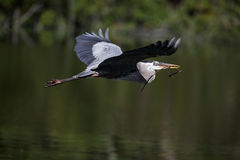 Héron de bleu grand en vol. Images libres de droits