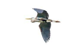Héron de bleu grand en vol Photographie stock