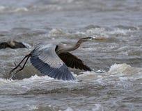 Héron de bleu grand en vol Photo libre de droits