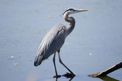 Héron de bleu grand marchant dans l'eau Images stock