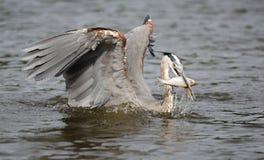 Héron de bleu grand pêchant un poisson Image libre de droits