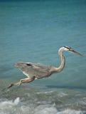 Héron de bleu grand se précipitant sur une plage de côte de Golfe Photographie stock libre de droits