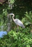 Héron de bleu grand stockant son prochain repas. Image libre de droits