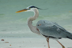 Héron de bleu grand sur la plage Photographie stock