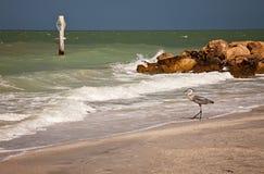 Héron de bleu grand sur la plage de Sanibel, la Floride Images stock