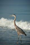 Héron de bleu grand sur une plage de côte de Golfe avec des ondes Image libre de droits