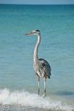 Héron de bleu grand sur une plage de la Floride Photo libre de droits