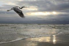 Héron de bleu grand volant au-dessus de la plage orageuse Images stock