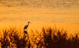 Héron de chasse se tenant dans l'eau au coucher du soleil Photos stock