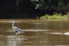 Héron de Cocoi marchant en Muddy River Images libres de droits