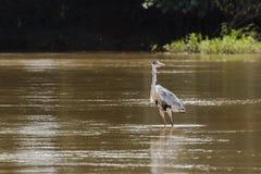 Héron de Cocoi pataugeant en Muddy River Images stock