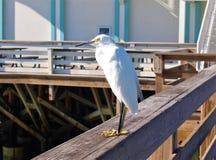 Héron de Daytona Beach Milou Images stock