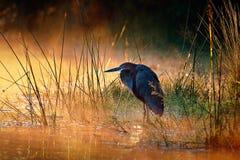 Héron de Goliath avec le lever de soleil au-dessus de la rivière brumeuse photo libre de droits