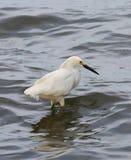 Héron de grand blanc à l'intérieur des eaux de rivière Photo stock