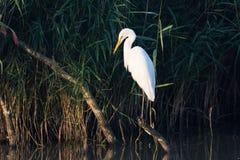 Héron de grand blanc dans la lumière de matin Image stock