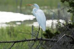 Héron de grand blanc se tenant sur une branche donnant sur l'eau photographie stock libre de droits