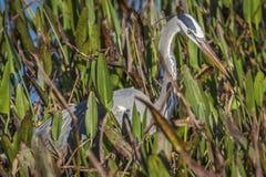Héron de grand bleu égrappant sa proie dans un marais Photo stock