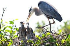 Héron de grand bleu adulte avec deux poussins dans le nid Photos libres de droits