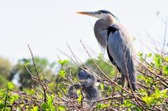 Héron de grand bleu adulte avec deux poussins dans le nid Images stock