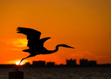 Héron de grand bleu au coucher du soleil, silhouette d'oiseau Photo libre de droits