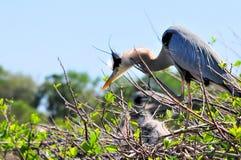 Héron de grand bleu avec des poussins dans le nid Images stock