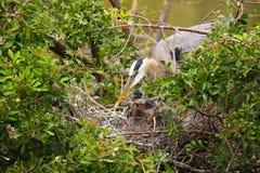 Héron de grand bleu avec des poussins dans le nid Photos libres de droits