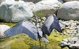 Héron de grand bleu avec les ailes écartées Photo libre de droits