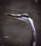 Héron de grand bleu chez le lac et l'Iris Gardens swan Images stock