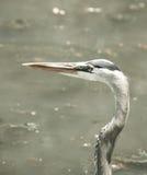 Héron de grand bleu chez le lac et l'Iris Gardens swan photos stock