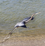 Héron de grand bleu décollant à partir du bord de l'eau Photos libres de droits