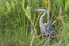 Héron de grand bleu dans l'herbe grande Photos libres de droits