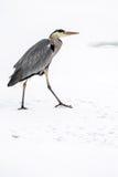 Héron de grand bleu dans la neige photographie stock libre de droits