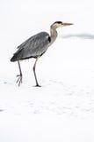Héron de grand bleu dans la neige images libres de droits