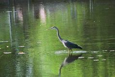 Héron de grand bleu dans le lac Photographie stock