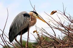 Héron de grand bleu dans le plumage d'élevage dans le nid en Floride Photo stock