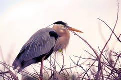 Héron de grand bleu dans le plumage d'élevage dans le nid, la Floride Photo libre de droits