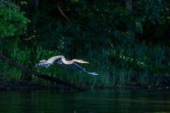 Héron de grand bleu dans le vol de début de la matinée photos libres de droits