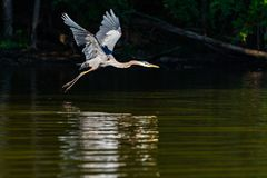Héron de grand bleu dans le vol de début de la matinée photos stock