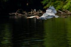 Héron de grand bleu dans le vol de début de la matinée images stock